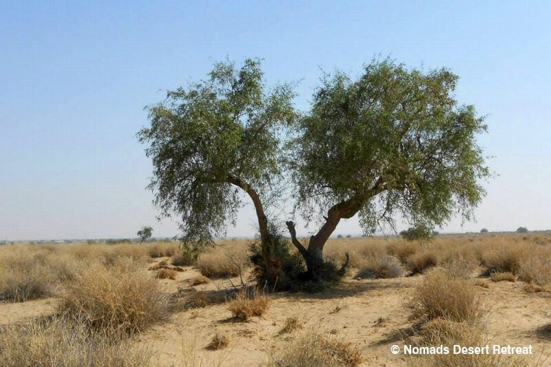 nomads-desert-retreat-the-lonely-tree